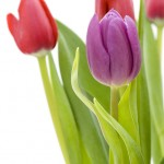Tulips in a vase, focus on flower in foreground