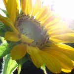 sunflower-3-1428248-m